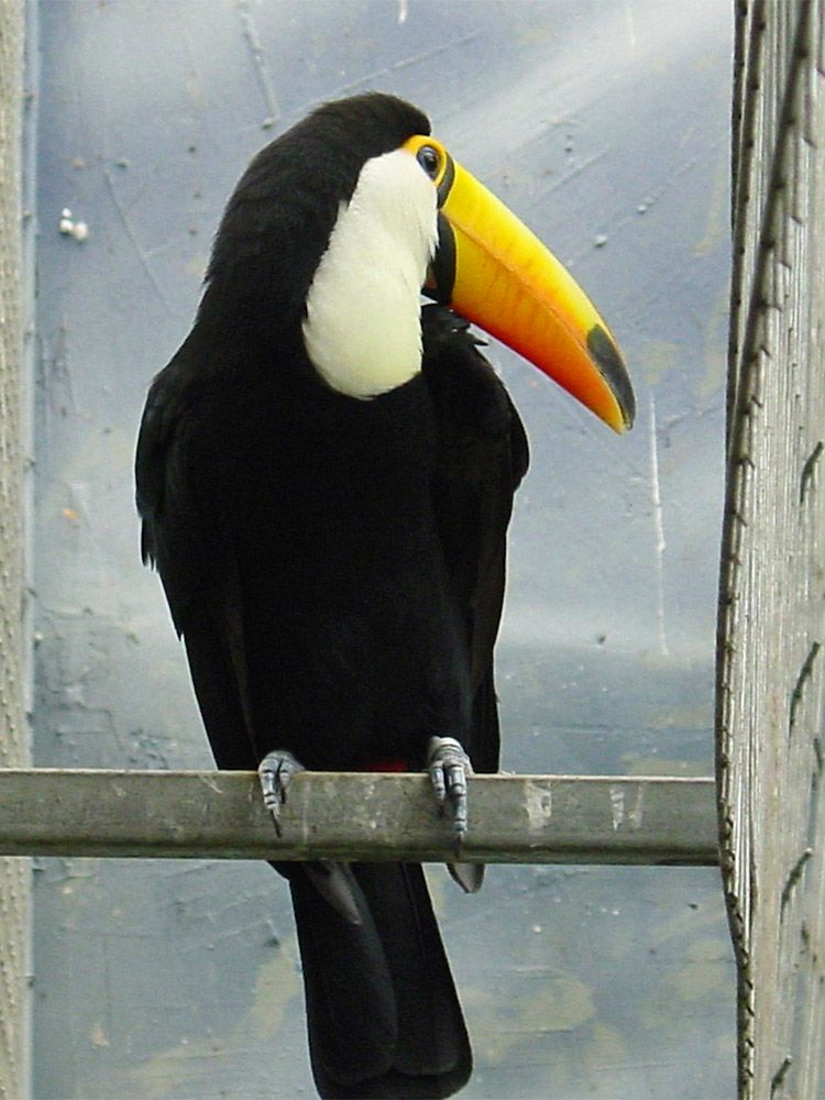 Toucan Free Jigsaw Puzzles Online