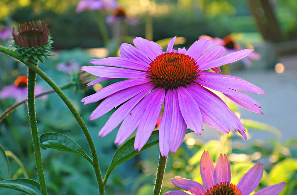 Coneflower Free Jigsaw Puzzles Online