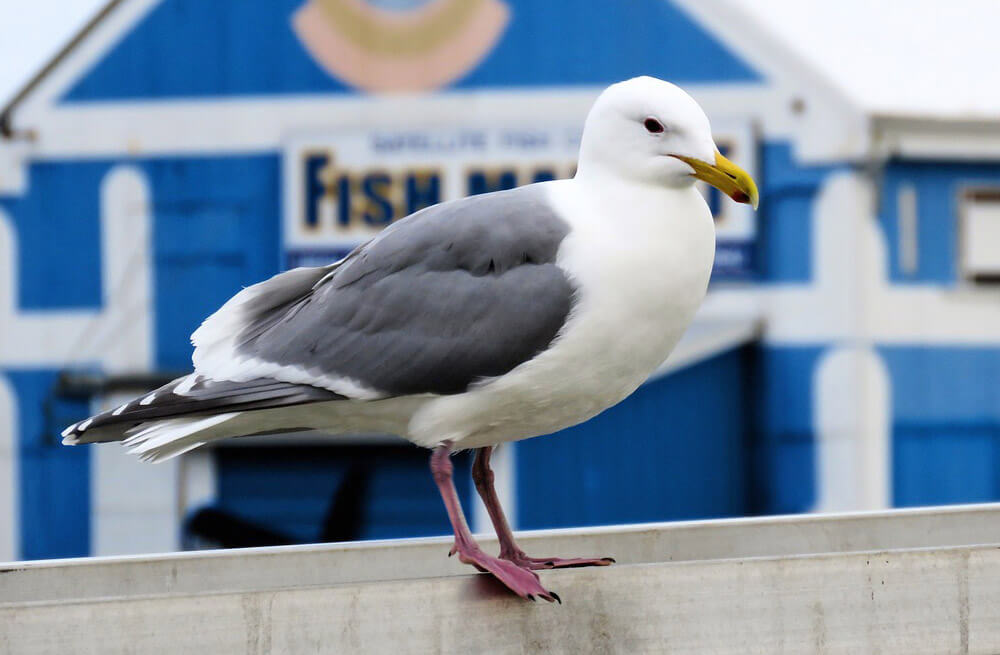 Seagull - Free Jigsaw Puzzles Online