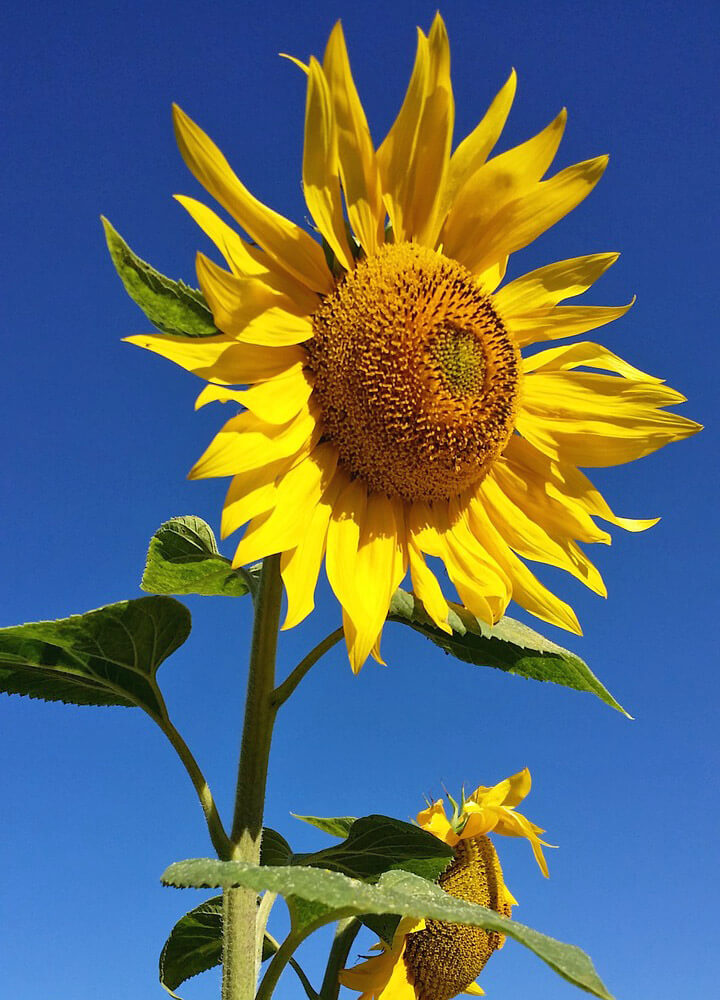 Sunflower - Free Jigsaw Puzzles Online