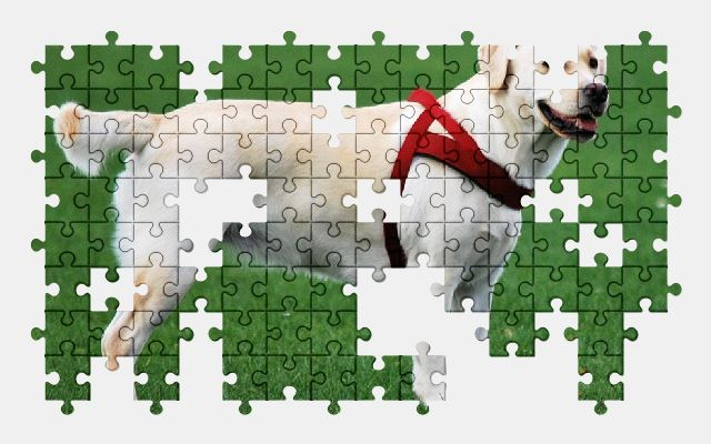 free jigsaw puzzle online animal,dog,labrador,white,grass,nature