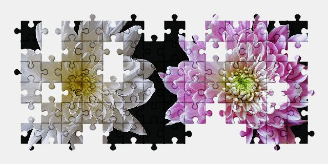 free jigsaw puzzle online chrysanthemum,flower,pink,white,nature