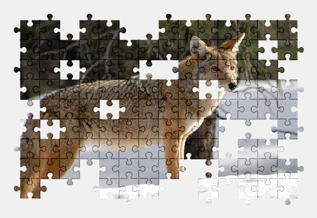 free jigsaw puzzle online coyote,wildlife,nature,snow,predator,animal