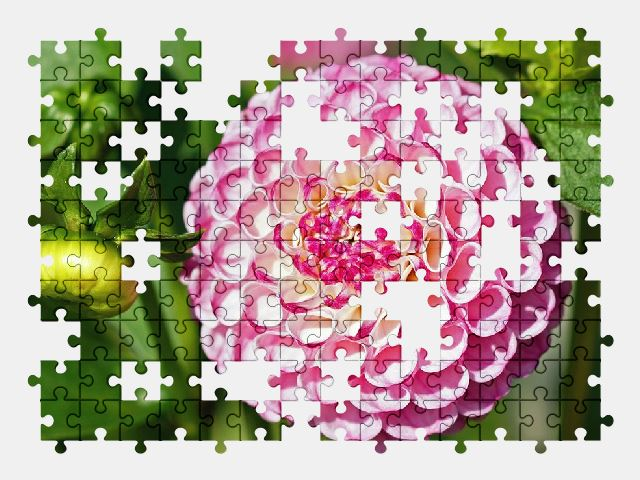 free jigsaw puzzle online dahlia,pink,flower,nature