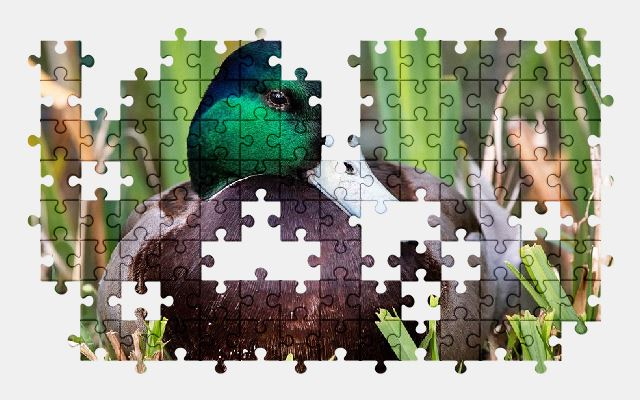 free jigsaw puzzle online duck,bird,animal,nature