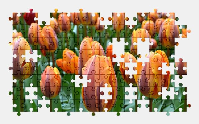 free jigsaw puzzle online flower,tulips,holland,spring,nature