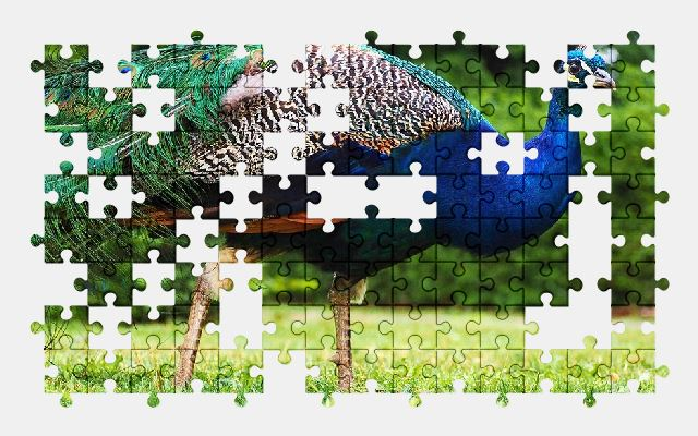free jigsaw puzzle online garden,grass,green,blue,nature,peafowl,bird,animal