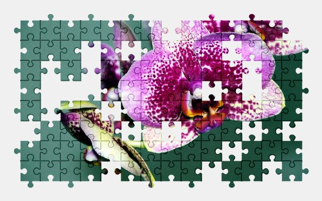 free jigsaw puzzle online orchid,blossom,bloom,flower,nature