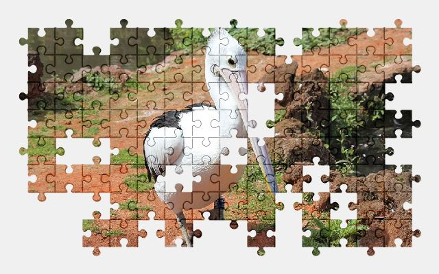 free jigsaw puzzle online pelican,park,nature,bird,animal