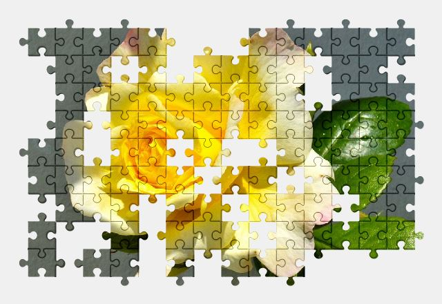 free jigsaw puzzle online rose,flower,yellow,summer,garden,nature