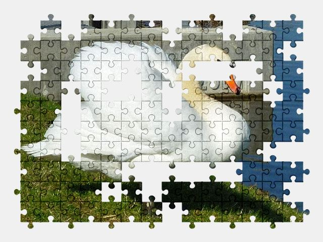 free jigsaw puzzle online swan,lake,spring,white,bird,nature,water