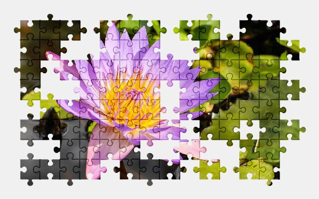 free jigsaw puzzle online water-lily,flower,purple,nature