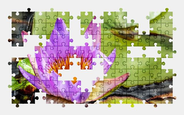 free jigsaw puzzle online water-lily,flower,bloom,purple,nature